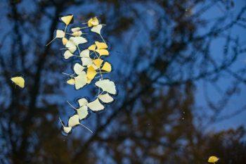 Ginko Biloba leaves in Autumn