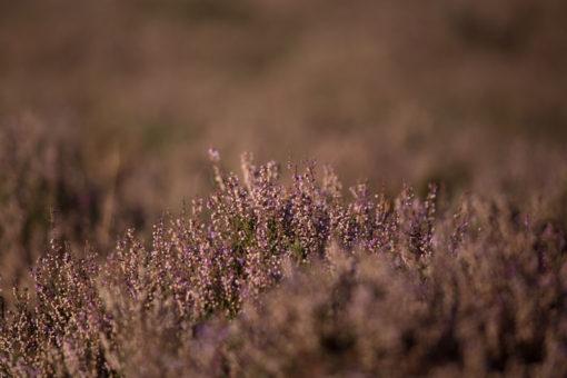 Heath blooming in Hoge Veluwe NP ©Erika's Way Photography