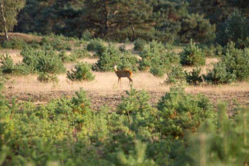 wild deer in the Netherlands