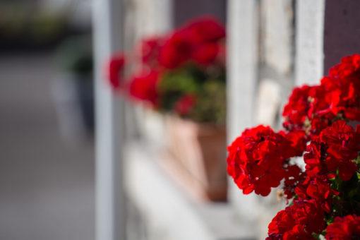 blooming red geranium