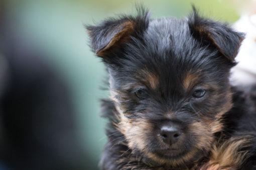 Australian Silky Terrier puppy portrait