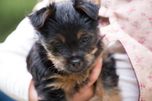 Super cute Australian Silky Terrier puppy