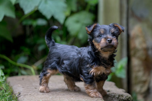 Australian Silky Terrier puppy looking at the camera in the garden