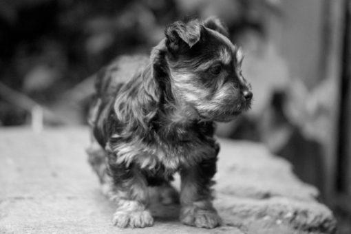 Australian Silky Terrier puppy exploring the backyard copyright Erika's Way Photography