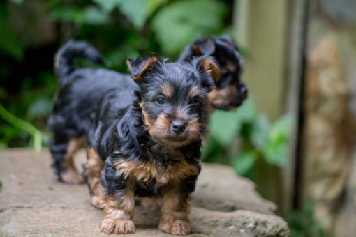 Silky Terrier puppies 35 days old