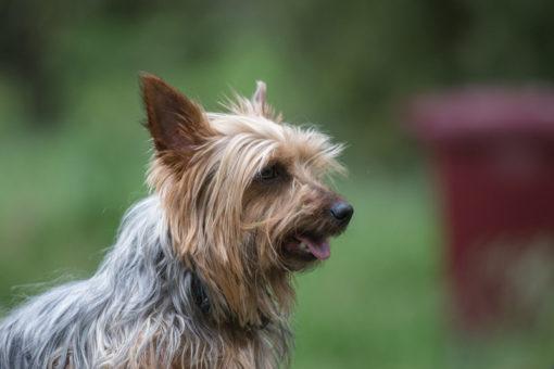 Australian Silky Terrier female dog