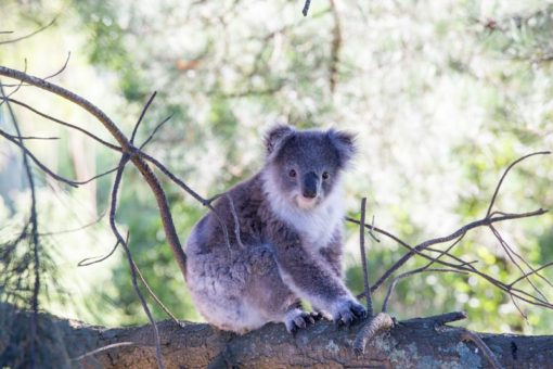 Koala on a tree in Gippsland