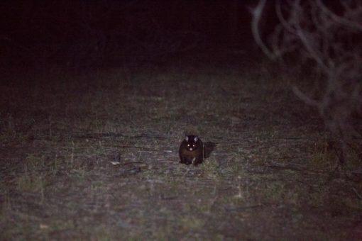 night possum in Maria Island ©Erika's Way Photography