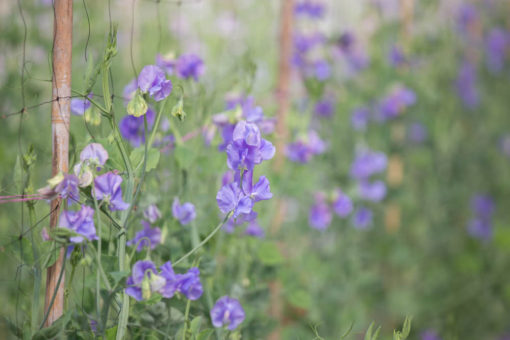 violet snowpeas