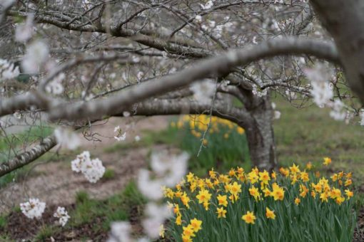 Daffodils and Cherry Blossom at the Rhododendron Gardens in Olinda, Melbourne