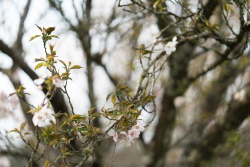 Cherry Blossom in Olinda