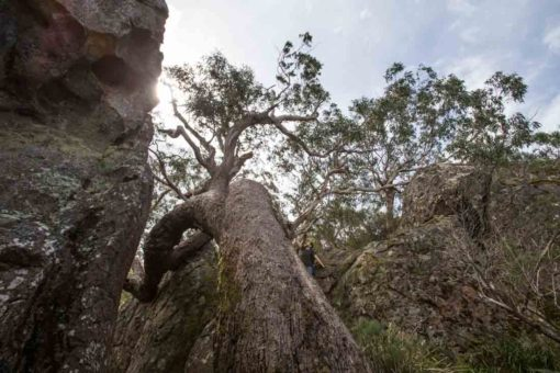 Amazing tree growing through the boulders in Hanging Rock