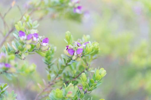 Coastal flora around Point Nepean