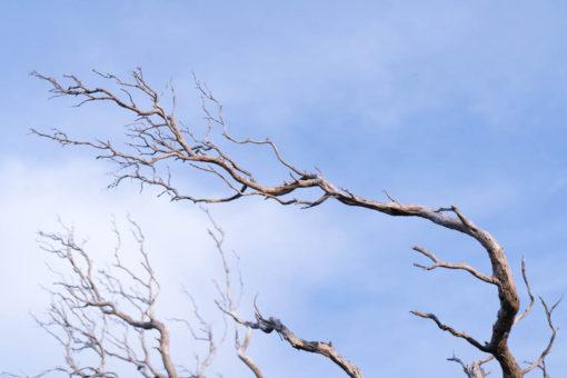 Dead branches. Walks around Point Nepean.