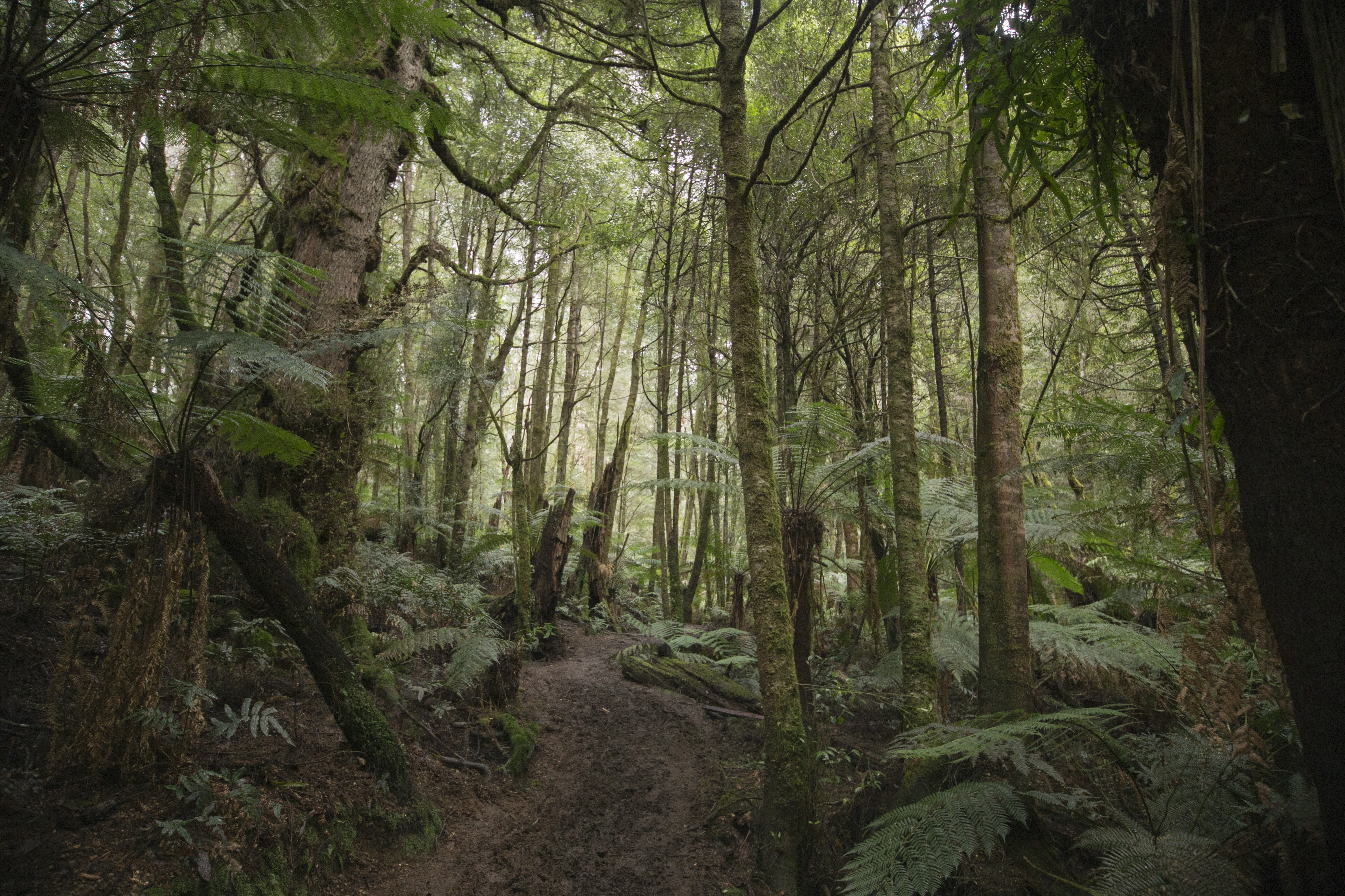 A walk in the pluvial forest of the Yarra Ranges National Park