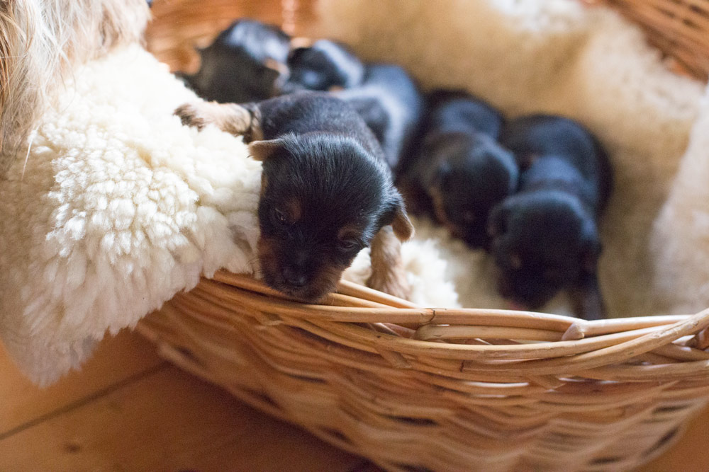 Australian Silky Terrier Puppies for sale in Melbourne, Vic