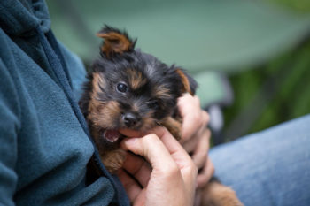 Silky Terrier puppy playing with a big hand