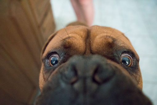 a very curious Bordeaux Mastiff dog looking at the camera