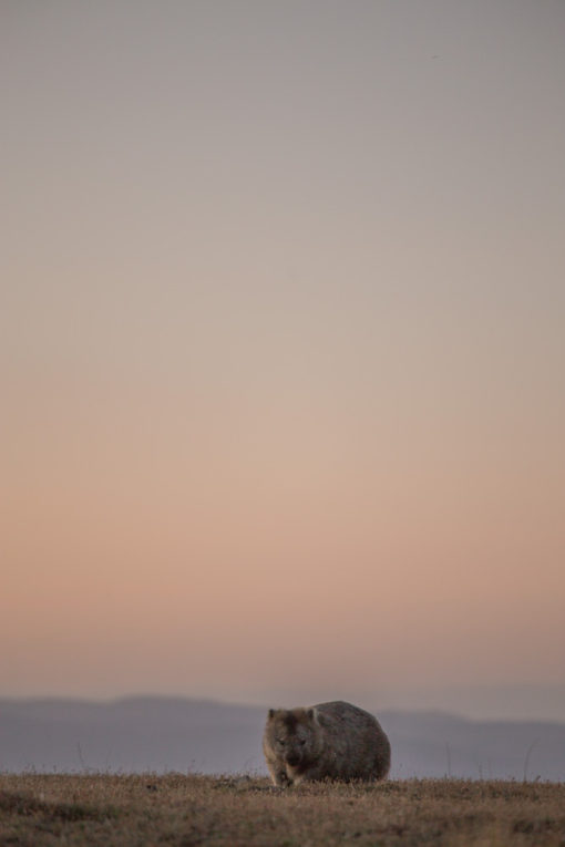 a wombat silhouette at Maria Island ©Erika's Way Photography