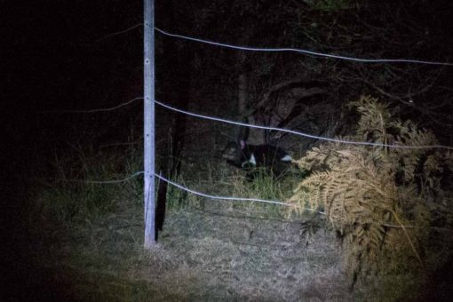 Tasmanian Devil in the wild ©Erika's Way Photography