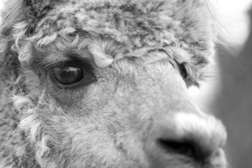 Detail of the face of an Alpaca