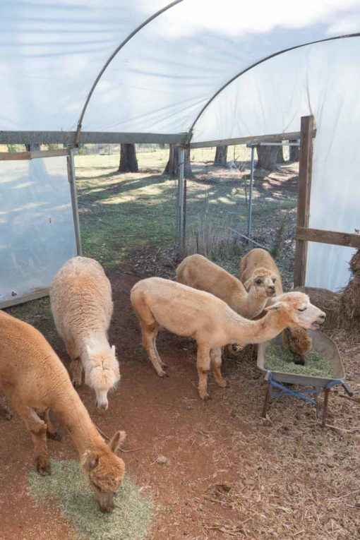 Alpacas eating lunch in the little shed