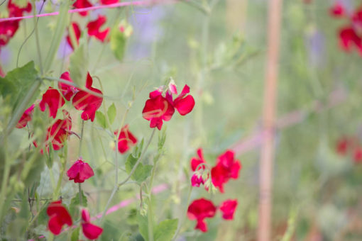 red snow-peas