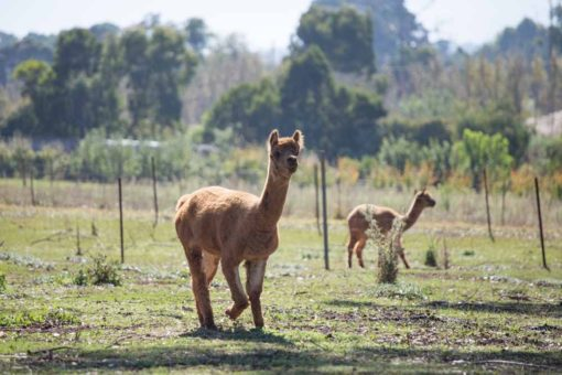 Alpaca living in a Farm in Silvan